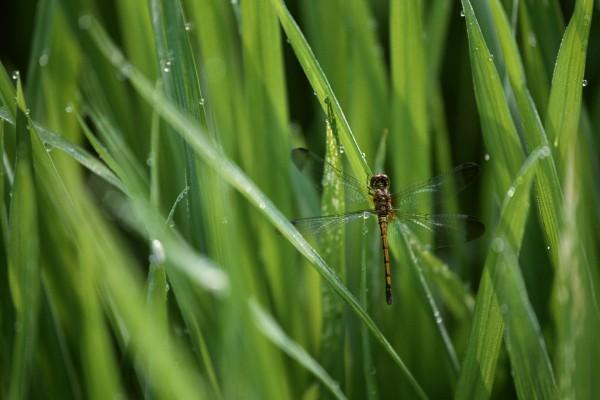 Libélula posada en una brizna de hierba