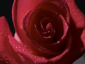 Una bella rosa con gotas de agua