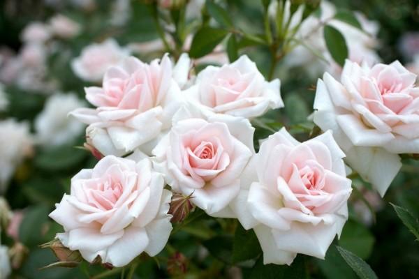 Bello conjunto de rosas en la planta
