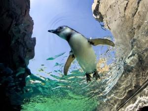 Pingüino nadando