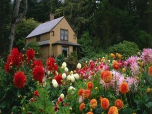 Postal: Hermoso jardín de dalias junto a la casa
