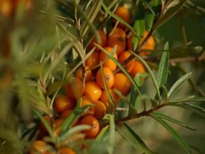Mandarinas creciendo en el árbol