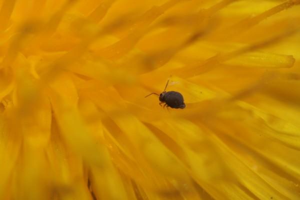 Un pequeño insecto entre los pétalos amarillos de una flor