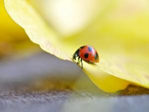 Postal: Una mariquita caminando sobre una flor amarilla