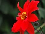 Abeja junto a una gran flor roja