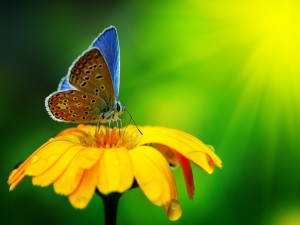 Mariposa azulada sobre una flor amarilla