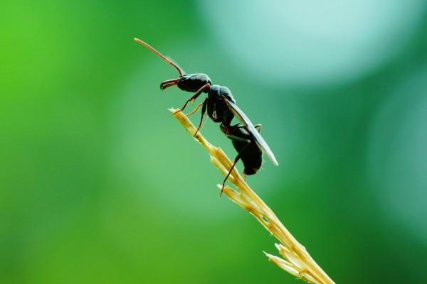 Hormiga con alas sobre una espiga