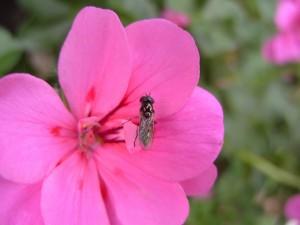 Insecto alado sobre una flor rosa