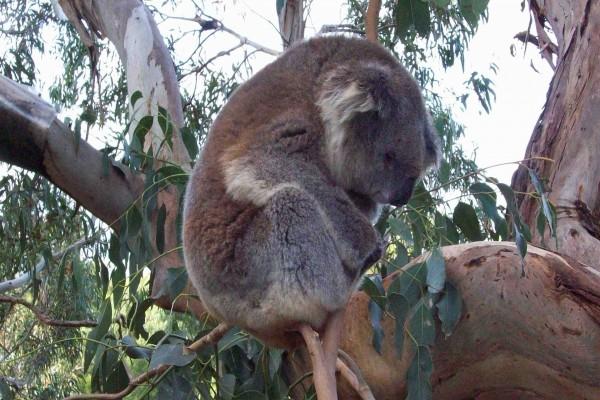 Koala dormido sobre una fina rama de un eucalipto