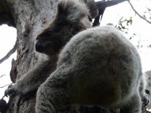Postal: Koala en el tronco de un árbol
