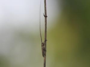 Insecto con unas largas antenas