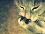 Gato con una pata en el hocico