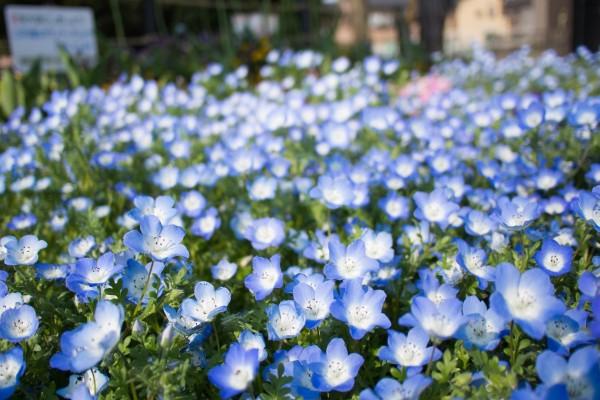 Florecillas azuladas en un jardín