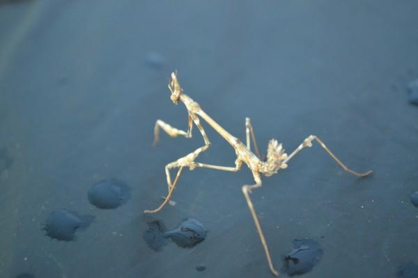 Mantis caminando en una superficie húmeda