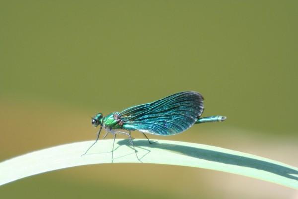 Bella libélula