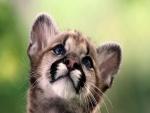 La cara de un cachorro de puma