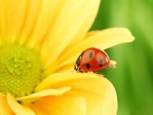 Mariquita caminando por una flor amarilla