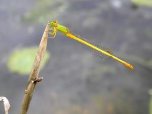 Una libélula agarrada a un tallo