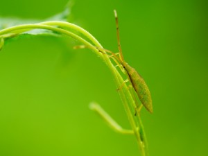 Postal: Insecto verde caminando entre dos tallos