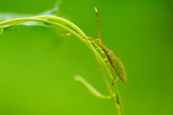 Insecto verde caminando entre dos tallos