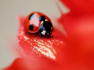 Postal: Mariquita sobre un pétalo rojo