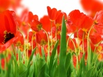 Campo con tulipanes rojos