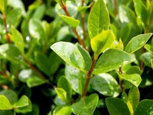 Gotas de agua sobre las hojas de las plantas
