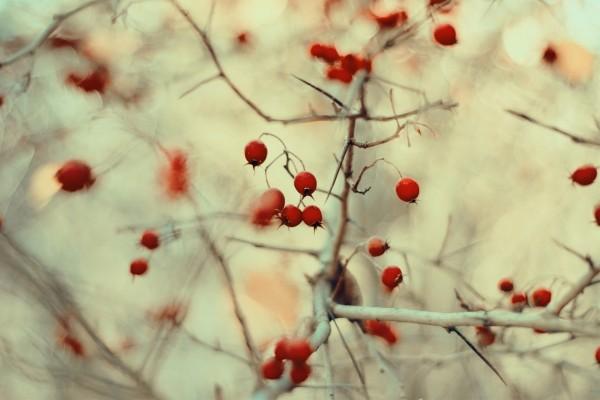Bayas rojas en un arbusto con espinas