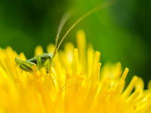 Postal: Grillo sobre una flor amarilla