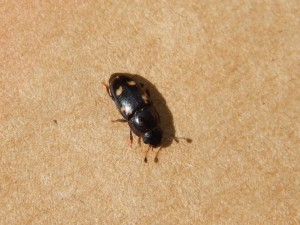 Escarabajo de la fruta