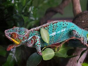 Hermoso camaleón caminando sobre una rama