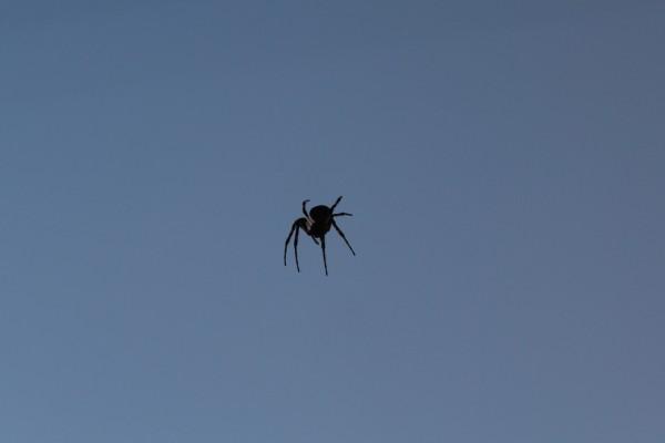 Una araña negra