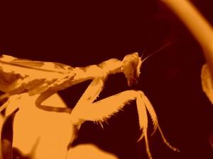 Postal: Una mantis religiosa
