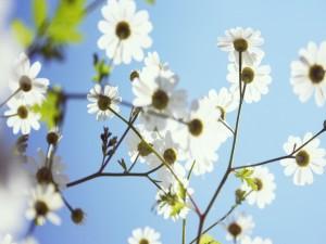 Postal: Margaritas blancas recibiendo la luz del sol