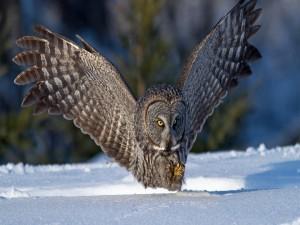 Gran lechuza aterrizando sobre la nieve