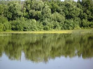 Postal: Varios árboles verdes junto al agua