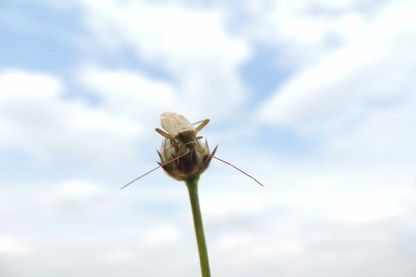 Insecto en lo alto de un pimpollo