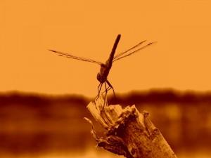 Postal: Imagen en color sepia de una libélula