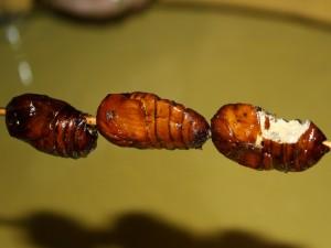 Crisálidas de gusanos de seda listas para comer