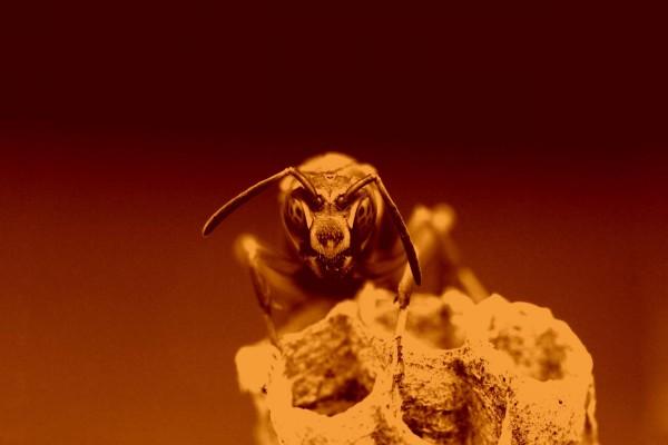 La cabeza de una avista posada en el nido