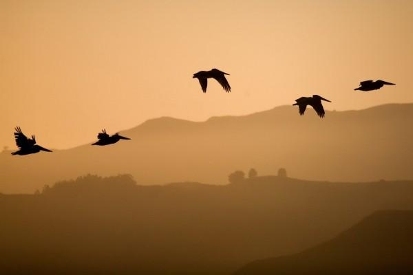 Pelícanos volando al atardecer