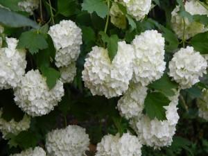 Postal: Magníficas hortensias blancas