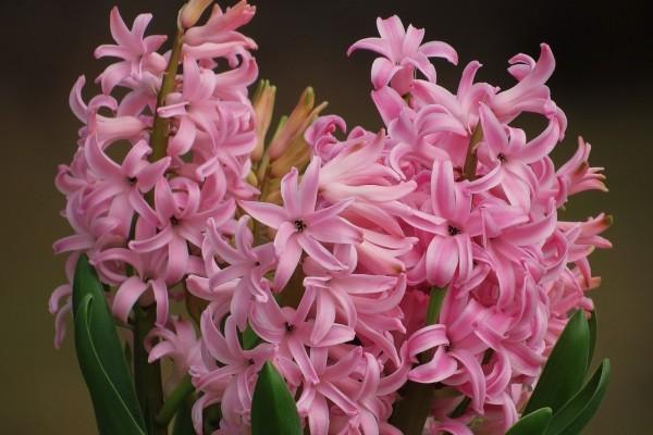 Un bello ramo de jacintos rosas