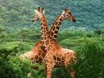 Dos jirafas cariñosas en un verde prado