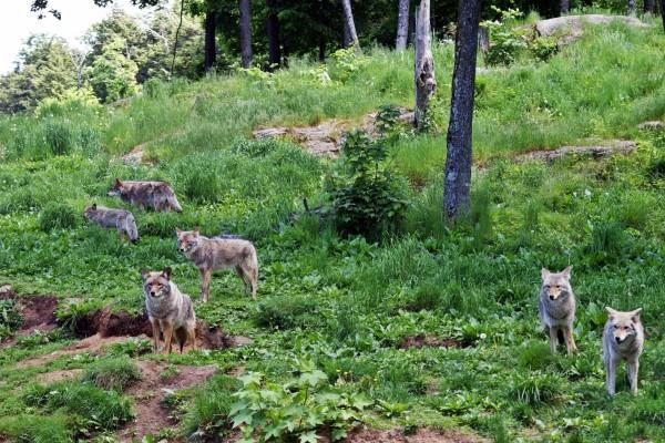 Manada de lobos grises en Canadá