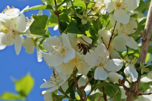Abeja en un árbol con flores blancas