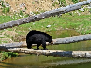 Oso negro canadiense