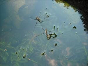 Grandes insectos en la superficie del agua