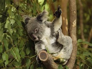 Koala levantando un dedo