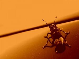 Postal: Escarabajo en una imagen color sepia